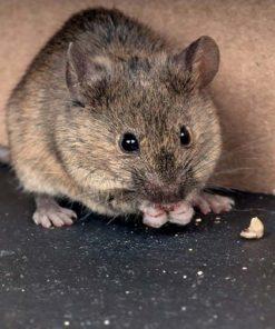 Отрова за мишки и плъхове